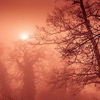 Ancient oak trees in a mist in England