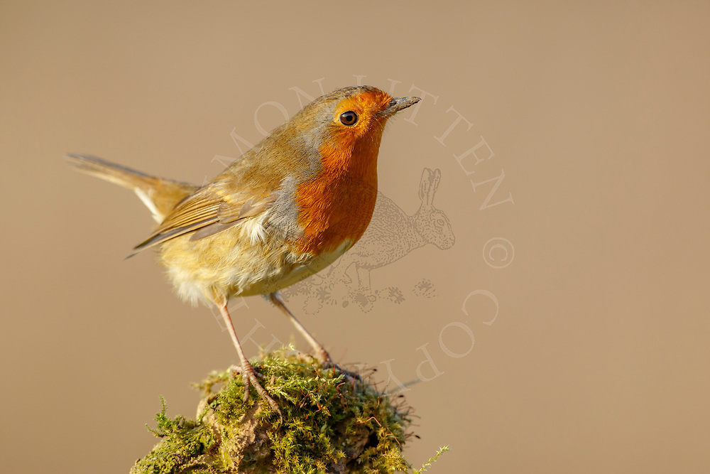 European Robin (Erithacus rubecula) adult,perched weathered rock, South Norfolk, UK. January.