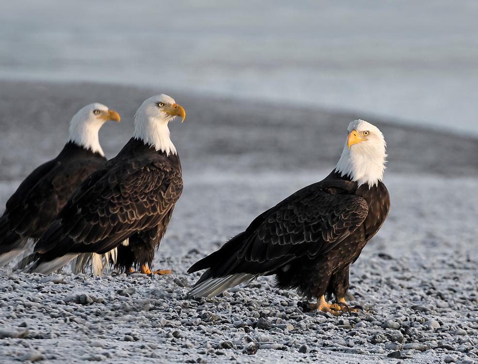Alaska. Bald Eagles (Haliaeetus leucocephalus) standing on a rocky beachin late afternoon light, Kachemak Bay.