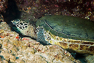 Green Sea Turtle, Chelonia mydas, (Linnaeus, 1758), Maui Hawaii