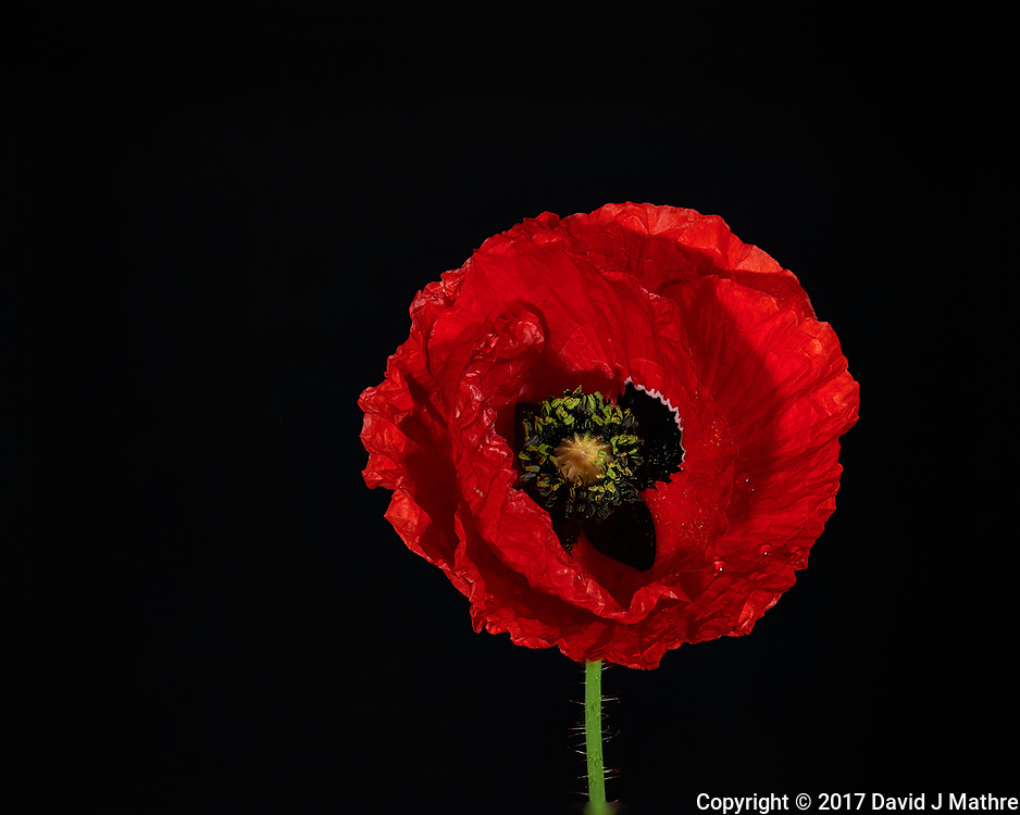 Red Poppy Flower. Backyard spring nature in New Jersey. Focus stacked composite of 29 mages taken with a Nikon Df camera and 105 mm f/2.8 VR macro lens and SB-910 flash (ISO, 105 mm, f/4, 1/60 sec). Images processed with Capture One and Helicon Focus (depth map, radius 8, smoothing 4)