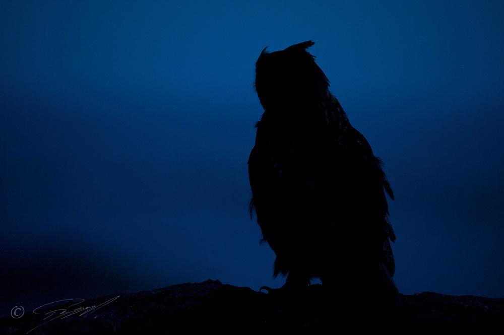 Hubro i silhuett sittende på berg ved havet i Rogaland. Denne store ugla er sterkt nattaktiv.