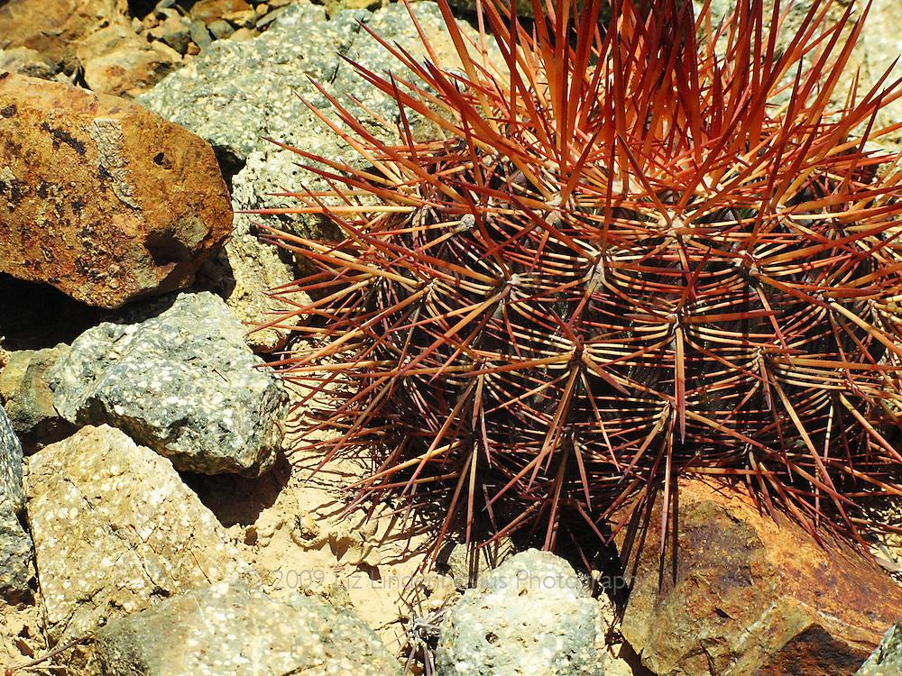 Red Cactus, Arikok Nationa Park, Aruba