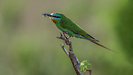Blue-cheeked bee-eater (Merops persicus)<br /> This bee-eater was successful at catching a bee although this particular species seems to prefer dragonflies.