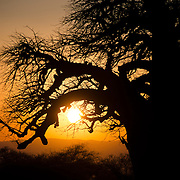 Sunset silhouette of a baobab tree at Tarangire National Park in northern Tanzania not far from Ngorongoro Crater and the Serengeti.