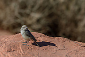 Rock Wren (Salpinctes obsoletus)