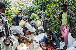 Laborers collect and sort coffee cherries on the Tepi plantation in Kaffe, Ethiopia.