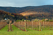 Pollack Vineyards grape vines, after harvest, overlooking the Blue Ridge Mountain's fall foliage outside Charlottesville, Virginia.