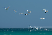 A group of Black-headed gulls fly over the turquoise colored ocean off the coast of Saunders Island, Falklands.