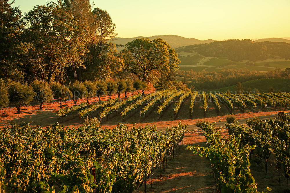Sunrise over Haymaker Vineyard on the Eastern slopes of Howell Mountain in Napa Valley, California.