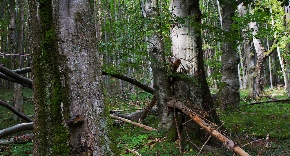 Some old Common beech (Fagus sylvatica) trees that were too big to be transported out of the forest by horse when the area was clear cut before and after WW II. Bieszczady National Park. Bukowiec, Poland.