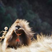 Gelada monkey, Simien mountains, North Ethiopia, Africa