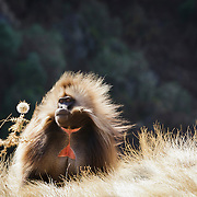 Gelada monkey, Simien mountains, North Ethiopia, Africa