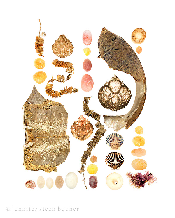 Left to Right, top to bottom: Row 1: Egg cases of the Knobbed Whelk (Busycon carica), Jingle Shells (Anomia simplex), part of a Horseshoe Crab shell (Limulus polyphemus), Slipper Shell Crepidula fornicata), beach stones. Row 2: Portly Spider Crab (Libinia emarginata), whelk egg cases Row 3: beach stones, Jingle Shell, whelk eggs, Portly Spider Crab, Jingle Shells, beach stone Row 4: part of Horseshoe Crab shell, Portly Spider Crab, Bay Scallops (Argopecten irradians), plastic condiment bottle top Row 5: plastic bottle top, beach stones, Jingle Shells, Irish Moss (Chondrus crispus)