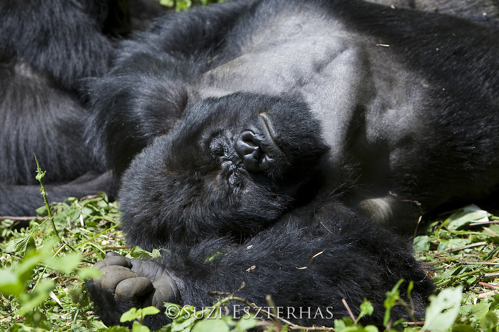 Mountain Gorilla<br /> Gorilla gorilla berengei<br /> Silverback resting in morning sun<br /> Virunga Volcanoes National Park, Rwanda<br /> *Endangered Species