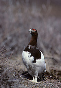 Willow Ptarmigan, Ptarmigan, Denali National Park, Alaska