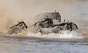 Wildebeest (Connochaetes taurinus) crossing Mara River in August 2018.