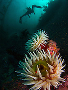 A diver passes by a sea anemone in Monterey. The sea anemone is considered to be the flower of the sea.