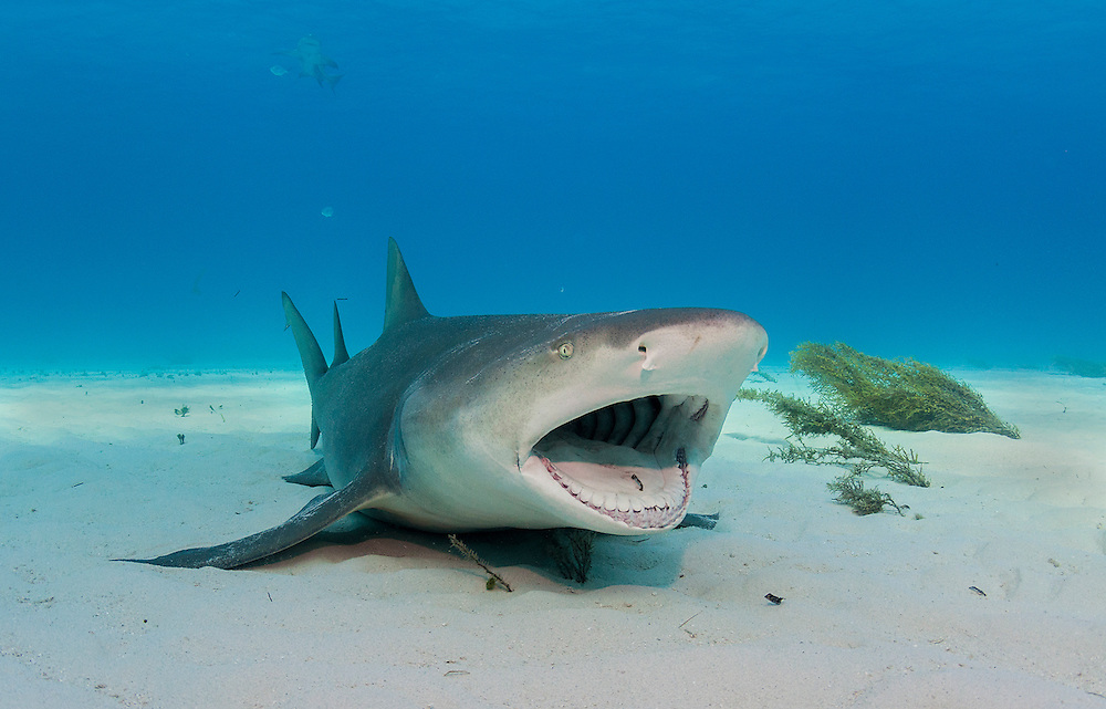 An adult lemon shark opens wide for a cleaner wrasse. It is a symbiotic relationship where the shark's teeth, gills and other areas are cleaned of parasites and the wrasse gets a meal.
