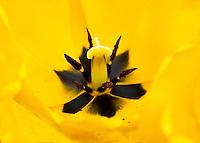 Switzerland. Springtime. Close-up of deep inside a yellow tulip flower.