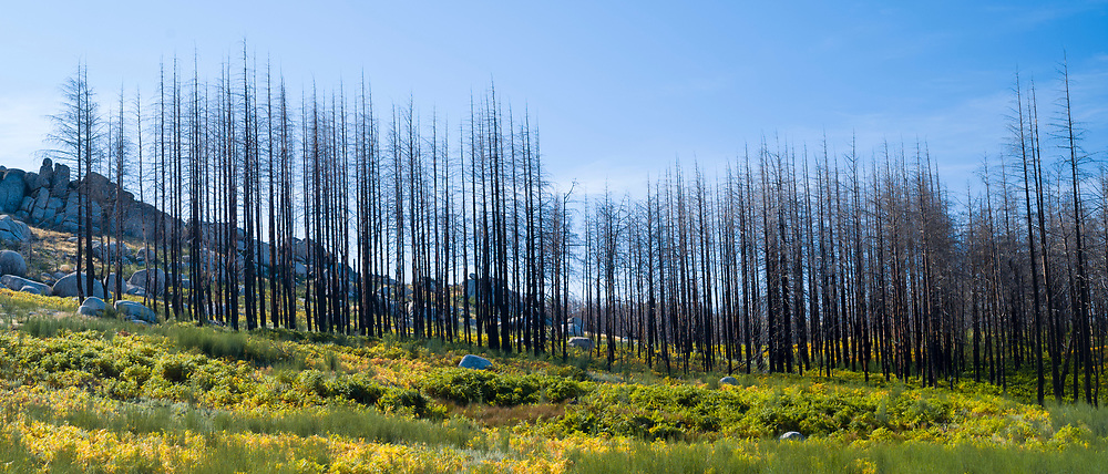 Serra da Estrela mountain range in the Natural Park. Graphic effect of line of fire damaged conifers, Portugal