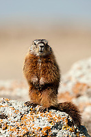 The Yellow Bellied Marmot also known as a rock chuck can be found in Utah this is a young Marmot.