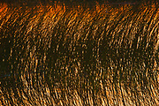 Reeds on Lake Audy at sunset<br />Riding Mountain National Park<br />Manitoba<br />Canada