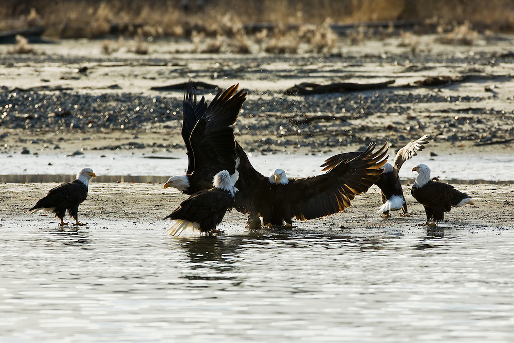 A bald eagle (Haliaeetus leucocephalus) flaps its wings to defend its chum salmon catch from other eagles along the banks of the Chilkat River in the Chilkat Bald Eagle Preserve near Haines in Southeast Alaska. Winter. Morning.