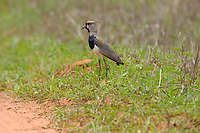 Southern Lapwing (Vanellus chilensis), Mato Grosso, Brazil