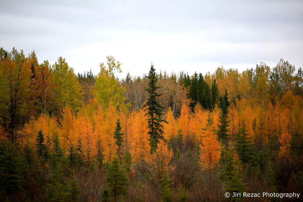 CANADA ALBERTA PACE RIVER 10OCT09 - Boreal forest in autumn colours in northern Alberta, Canada...Significant deposits of Bitumen, also known as tarsands have been found in the area around Peace River and Slave Lake, thus threatening the continued existence of flora and fauna of the Boreal through oil and gas developments...The Canadian boreal region represents a tract of land over 1,000 kilometres wide separating the tundra in the north and temperate rain forest and deciduous woodlands that predominate in the most southerly and westerly parts of Canada. ..The boreal region contains about 14% of Canada's population. With its sheer vastness and integrity, the boreal makes an important contribution to the rural and aboriginal economies of Canada, primarily through resource industries, recreation, hunting, fishing and eco-tourism...Photo by Jiri Rezac / GREENPEACE
