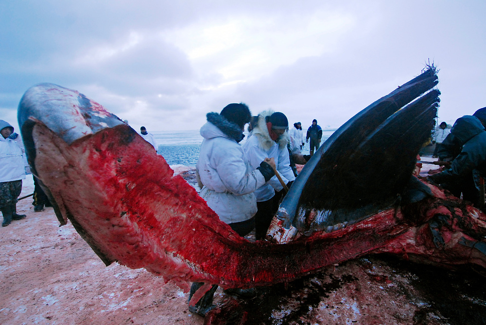 Alaska, Barrow. April 2007. Spring whaling. Butchering of Ahkivgak's crew whale caught on May 7th 2007.