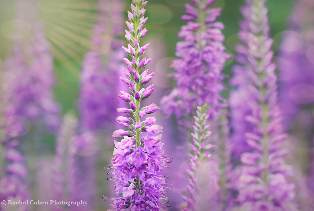 &quot;Light as Air in Lavender&quot;<br />