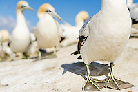 Cape Gannet bachelor group resting, Malgas Island, Western Cape, South Africa