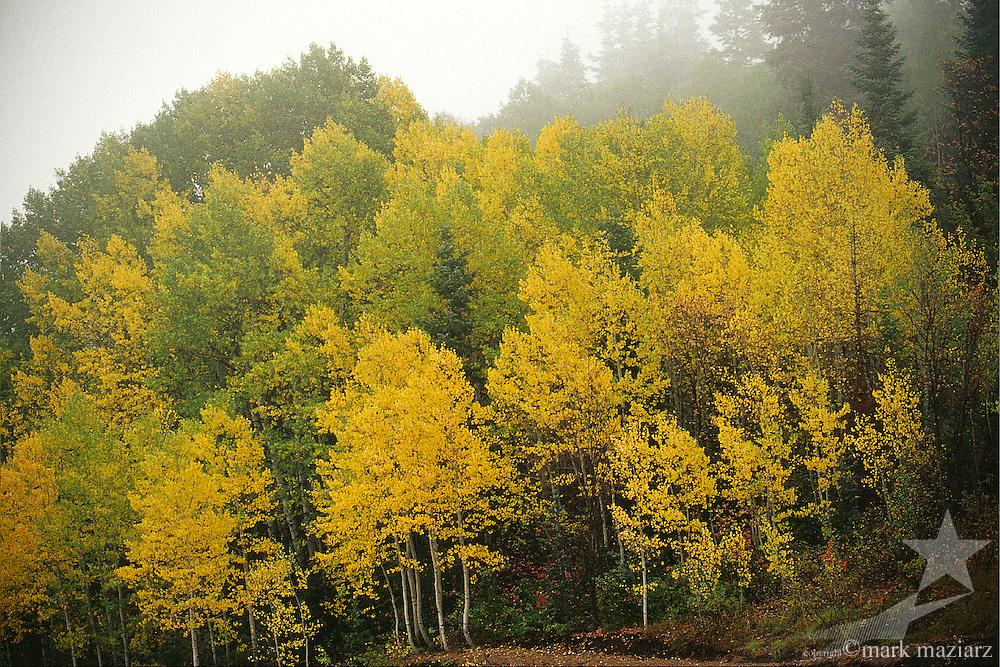 fall aspen in fog