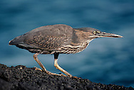 Striated heron on lava flow, Butorides striatus, Galapagos Islands
