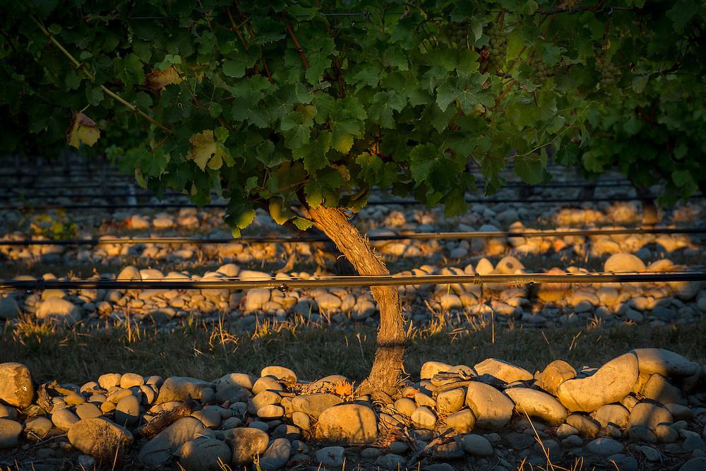 Rocks warm in the sunshine below grapevines on Stonleigh Vineyard, Marlborough, New Zealand