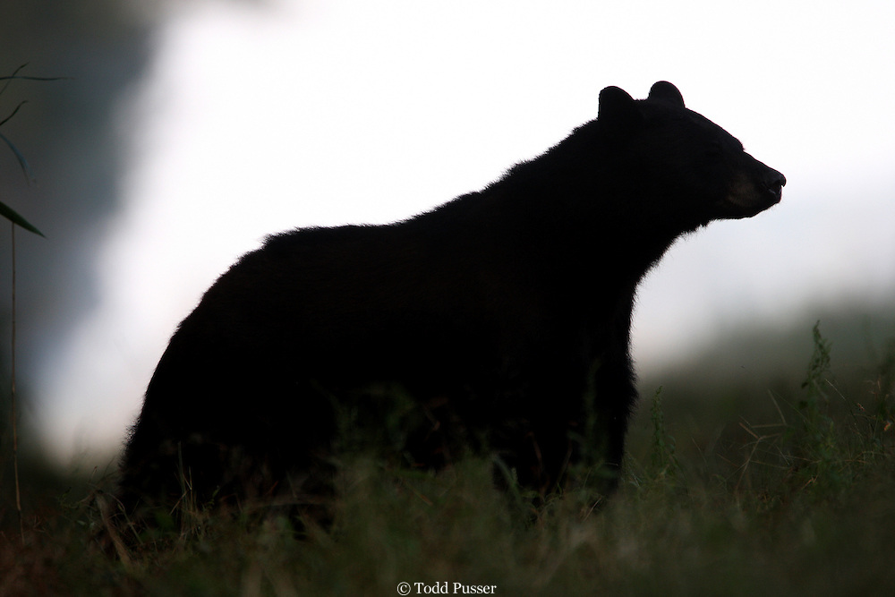 Silhoutte of black bear (Ursus americanus).  Pocosin Lakes National Wildlife Refuge. North Carolina