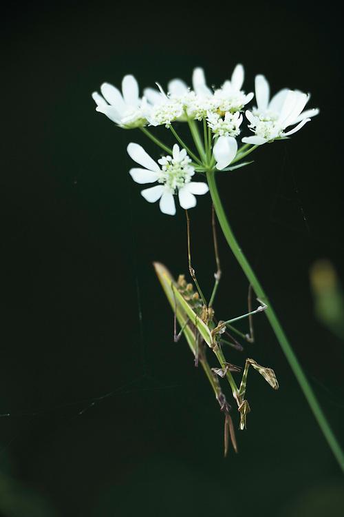 Cone-head mantis (Empusa fasciata) mating on Tordylium sp. Hutovo Blato Nature Park. Bosnia-Herzegovina. May 2009.<br /> Elio della Ferrera / Wild Wonders of Europe
