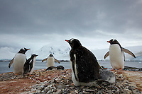 Gentoo Penguin (Pygoscelis papua) nests in Port Lockroy, Weincke Island.