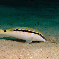 goatfish, Parupeneus barberinus