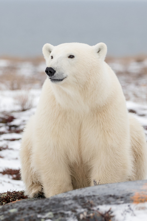 polar bear, Churchill, Manitoba  polar bear