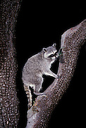 Raccoon (Procyon lotor) in an alligator juniper  tree at night in the Coronado National Forest, Arizona.