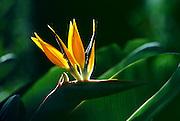 orange & gold bird of paradise flower; exotic
