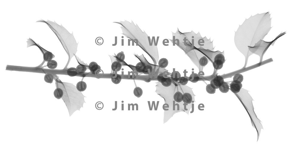 X-ray image of a holly branch section with berries (Ilex, black on white) by Jim Wehtje, specialist in x-ray art and design images.