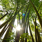 Bamboo, Kaohsiung County, Taiwan,  August16th, 2008