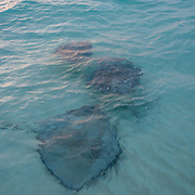 Stingrays swimming close to the surface. Stingray City. Grand Cayman Island.