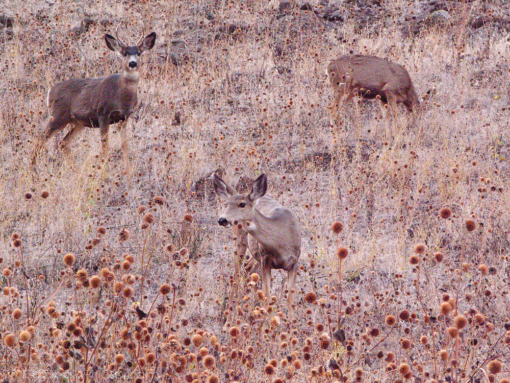 Columbia Black Tail Deer (Odocoileus hemionus columbianus) browse in a patch of Balsamroot plants with seedpods in the Grande Ronde River Canyon, WA, USA.