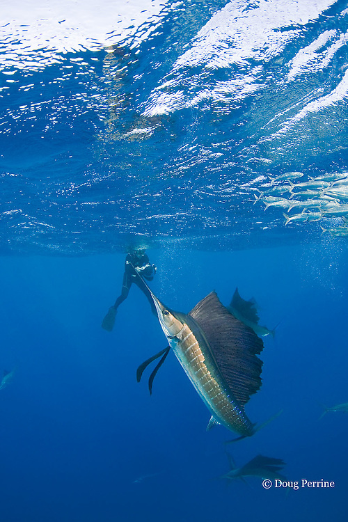 Jesse Cancelmo photographs Atlantic sailfish, Istiophorus albicans, attacking bait ball of Spanish sardines (aka gilt sardine, pilchard, or round sardinella ), Sardinella aurita, off Yucatan Peninsula, Mexico ( Caribbean Sea ) MR 403