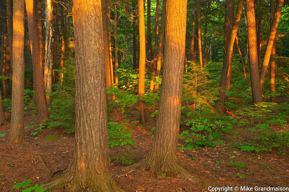 Lsst light on pine trees on shore of Killarney  Lake<br />
