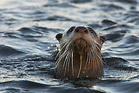 Cape Clawless Otter swimming through the water: De Hoop Nature Reserve; Western Cape; South Africa